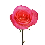 "Laguna Novelty Rose 20"" Long - 100 Stems"