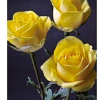 "Latina Yellow Rose 20"" Long - 100 Stems"