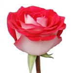 "Latin Lady Novelty Rose 20"" Long - 100 Stems"