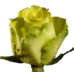 "Limbo Green/Yellow Novelty Rose 20"" Long - 100 Stems"