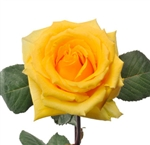 "lindsey Yellow Rose 20"" Long - 100 Stems"