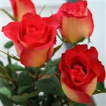 "Lipstick Novelty Rose 20"" Long - 100 Stems"