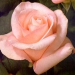 "Livia Light Pink Rose 20"" Long - 100 Stems"