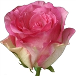 "Malibu Novelty Rose 20"" Long - 100 Stems"