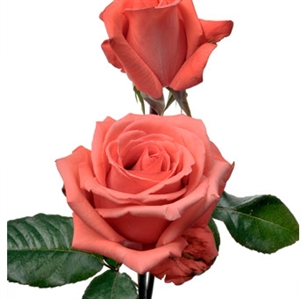 "Movie Star Salmon Pink Rose 20"" Long - 100 Stems"