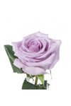 "Ocean Song Lavender Rose 20"" Long - 100 Stems"