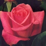 "Orlando Hot Pink Rose 20"" Long - 100 Stems"