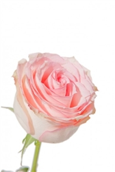 "Orlando Light Pink Rose 20"" Long - 100 Stems"