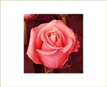 "Peckoubo Salmon Pink Rose 20"" Long - 100 Stems"