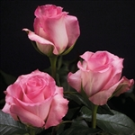 "Priceless Pink Rose 20"" Long - 100 Stems"