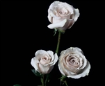 "Quicksand Cream Rose 20"" Long - 100 Stems"
