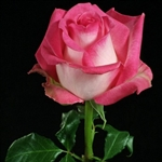 "Rossini Novelty Rose 20"" Long - 100 Stems"