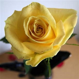 "Skyline Yellow Rose 20"" Long - 100 Stems"