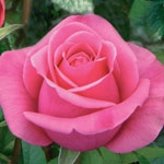 "Solitaire Pink Rose 20"" Long - 100 Stems"