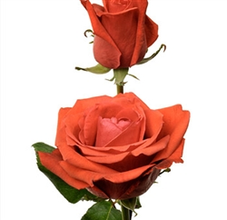 "Star 2000 Orange Rose 20"" Long - 100 Stems"