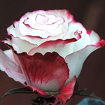 "Sweetness Novelty Rose 20"" Long - 100 Stems"