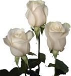 "Vendela White/Ivory Rose 20"" Long - 100 Stems"