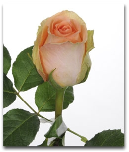 "Versilla Peach Rose 20"" Long - 100 Stems"
