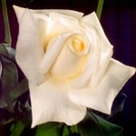 "Virginia White Rose 20"" Long - 100 Stems"