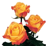 "Voodoo Orange Rose 20"" Long - 100 Stems"