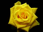 "Yellow Coral Yellow Rose 20"" Long - 100 Stems"
