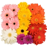 Assorted Mini-Gerbera Daisies - 140 Stems