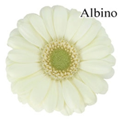 Albino White Mini-Gerbera Daisies - 140 Stems