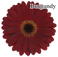 Burgundy Mini-Gerbera Daisies - 140 Stems