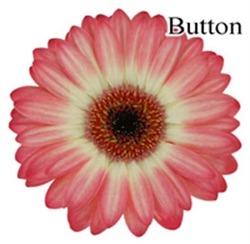 Button Mini-Gerbera Daisies - 140 Stems