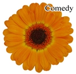 Comedy Mini-Gerbera Daisies - 140 Stems