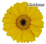 Gold Star Mini-Gerbera Daisies - 140 Stems