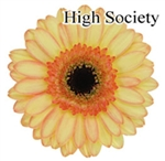 High Society Mini-Gerbera Daisies - 140 Stems