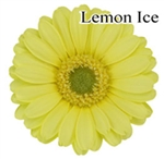 Lemon Ice Mini-Gerbera Daisies - 140 Stems