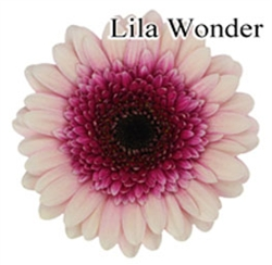 Lila Wonder Mini-Gerbera Daisies - 140 Stems