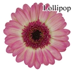 Lollipop Mini-Gerbera Daisies - 140 Stems