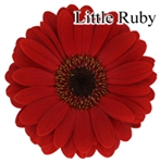 Little Ruby Mini-Gerbera Daisies - 140 Stems