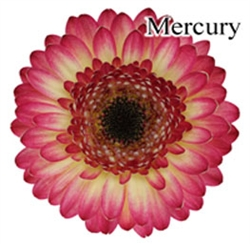 Mercury Mini-Gerbera Daisies - 140 Stems