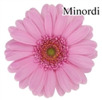 Minordi Wonder Mini-Gerbera Daisies - 140 Stems