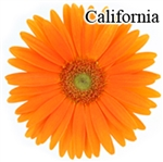 California Gerbera Daisies - 72 Stems (VERY POPULAR)