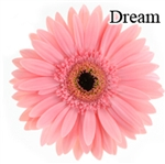 Dream Pink Gerbera Daisies - 72 Stems