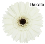 Dakota White Gerbera Daisies - 72 Stems