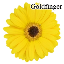 Goldfinger Yellow Gerbera Daisies - 72 Stems