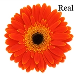 Real (color) Gerbera Daisies - 72 Stems