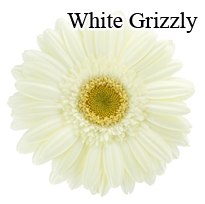 White Grizzly Gerbera Daisies - 72 Stems