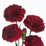 Burgundy - Standard Carnations - 175 stems