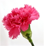 Hot Pink - Standard Carnations - 175 stems