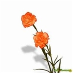Orange - Standard Carnations - 175 stems