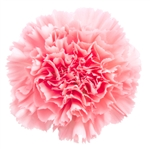 Pink - Standard Carnations - 175 stems