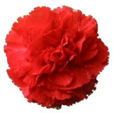 Red - Standard Carnations - 175 stems