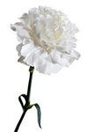 White - Standard Carnations - 175 stems